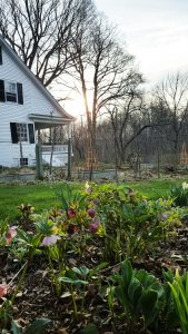 Spring Gardening -- my Hudson Valley farmhouse garden is in bloom again.