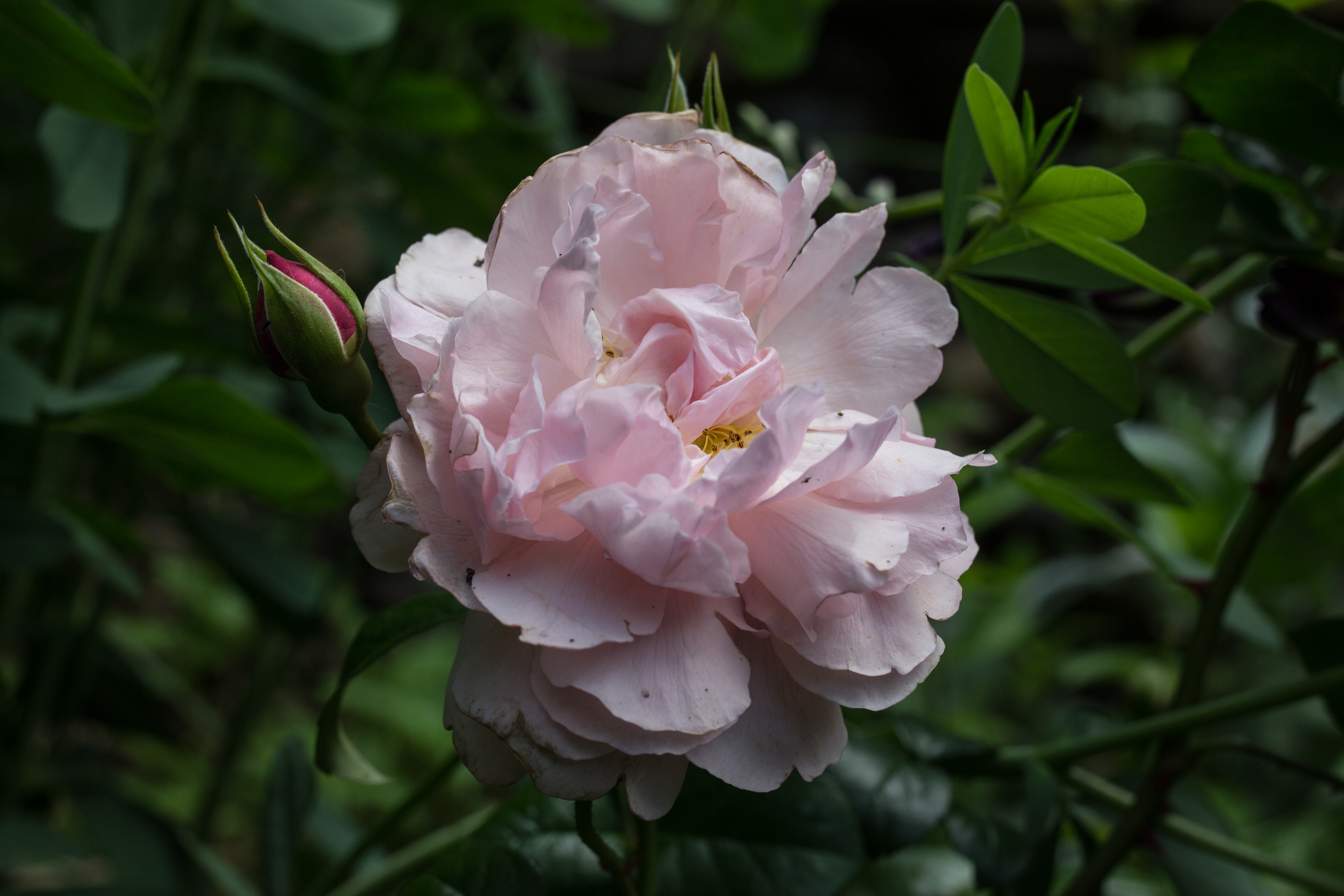 photo of single pink rose from the garden of floral designer and artist Gloria B. Collins