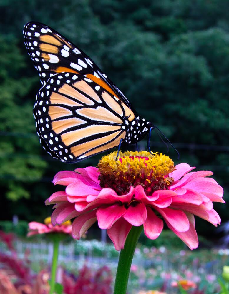 a monarch butterfly resting on a flower at Stars of the Meadow flower farm