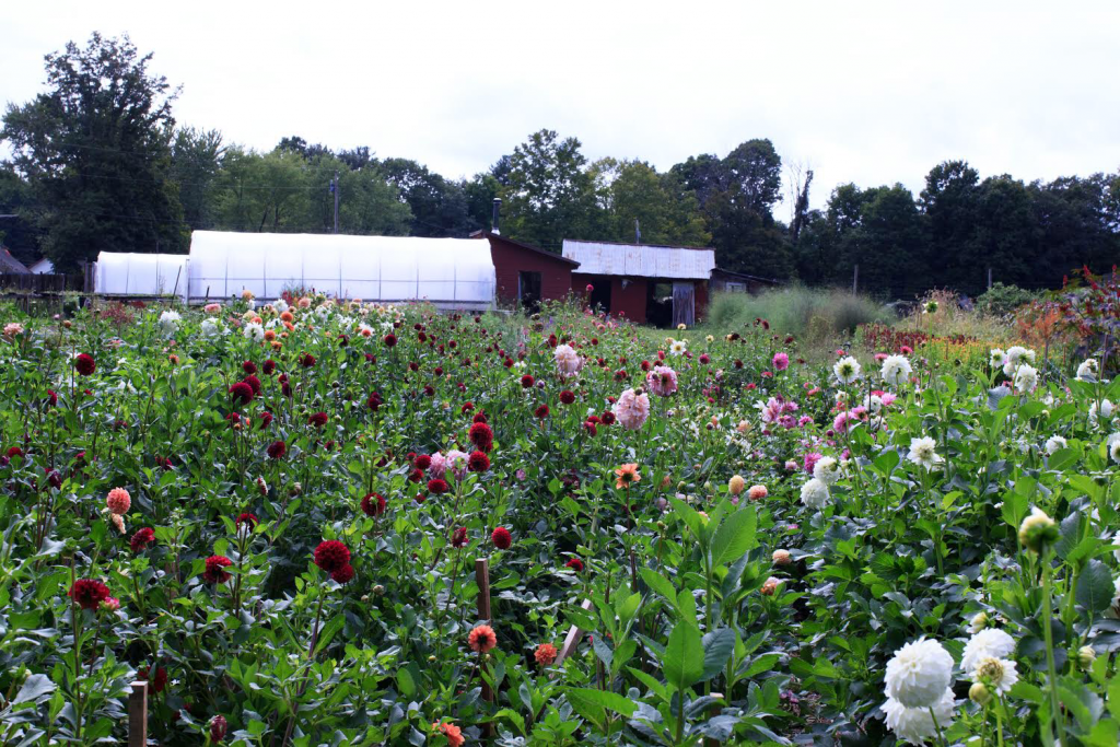 Stars of the Meadow, a Hudson River Valley Flower Farm, in full bloom