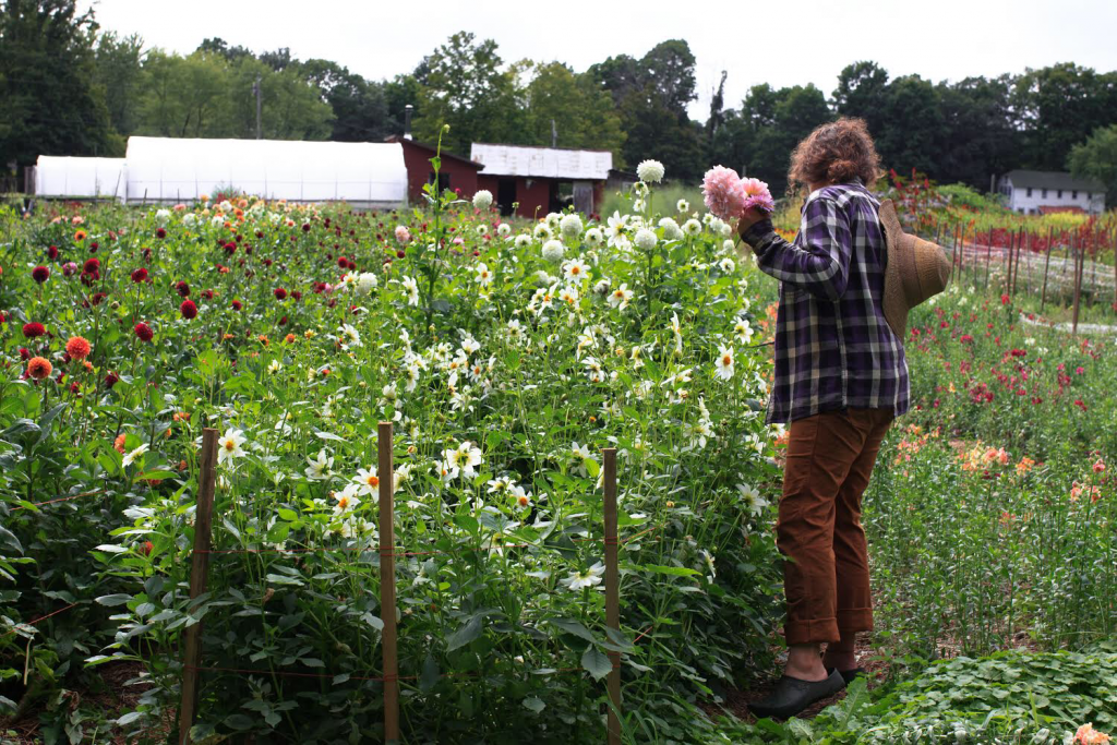 Marybeth Wehrung of Stars of the Meadow flower farm harvesting flowers