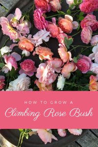 How to Grow a Climbing Rose Bush | Gloria B. Collins